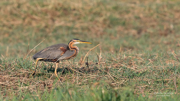 Purple Heron, Chobe River, NAM, Oct 2016-3