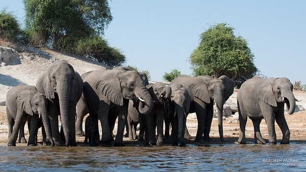 African Elephant, Chobe River, NAM, Oct 2016-3