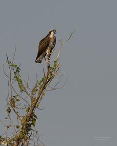 Western Osprey, Chobe River, NAM, Oct 2016-1
