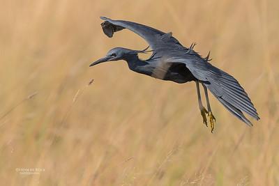 Slaty Egret, Eagle Island, Okavango Delta, Botswana, May 2017-6