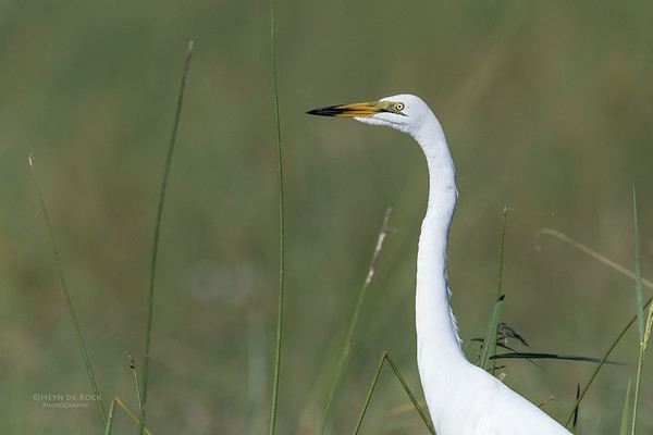 Great Egret, Eagle Island, Okavango Delta, Botswana, May 2017-1
