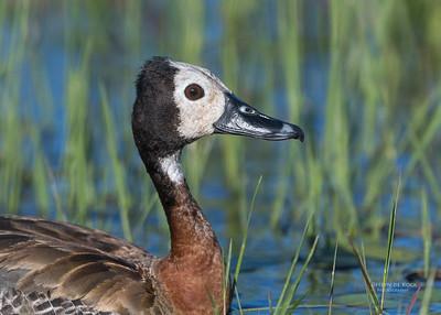 White-faced Whistling Duck, Eagle Island, Okavango Delta, Botswana, May 2017-1