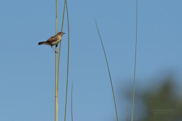 Laupula Cisticola, Eagle Island, Okavango Delta, Botswana, May 2017-1