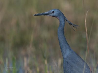Slaty Egret, Eagle Island, Okavango Delta, Botswana, May 2017-1