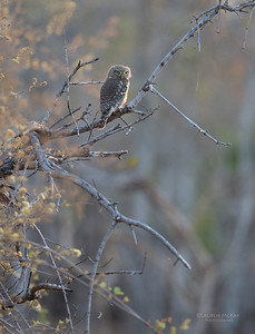 Pearl-spotted Owlet, Sabi Sands (EP), SA, Oct 2016-1