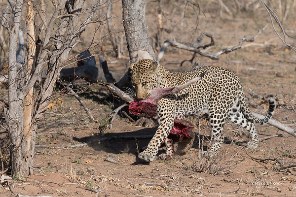 Leopard (Anderson), Sabi Sands (EP), SA, Oct 2016-5