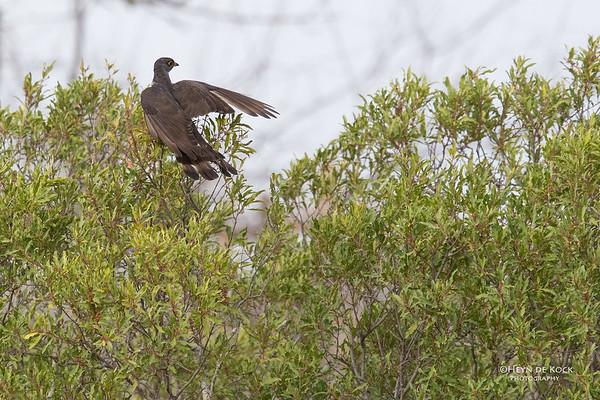 Thick-billed Cuckoo, Sabi Sands (EP), SA, Oct 2016-2