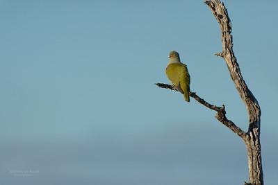 African Green-Pigeon, Sabi Sands GR, MP, SA, Sept 2015