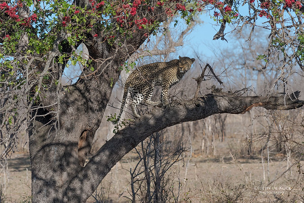 Leopard (Anderson), Sabi Sands (EP), SA, Oct 2016-2