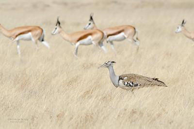 Kori Bustard & Springbuck, Etosha NP, Namibia, July 2011