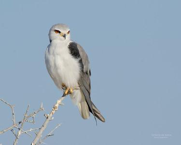 Black-winged Kite, Etosha NP, Namibia, July 2011