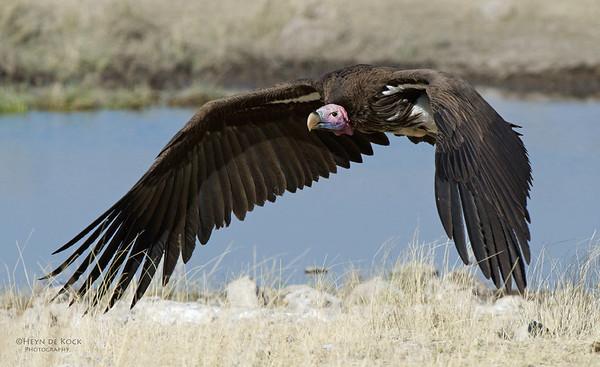 Lappet-faced Vulture, Etosha, Namibia, Jul 2011