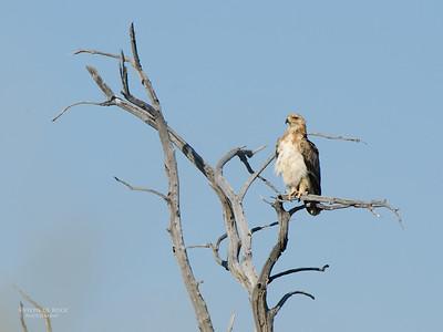 Booted Eagle, Etosha NP, Namibia, July 2011