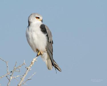 Black-winged Kite, Etosha NP, Namibia, July 2011-1