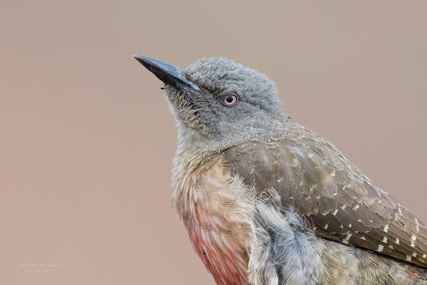 Ground Woodpecker, Goldengate NP, FS, SA, Oct 2016-1