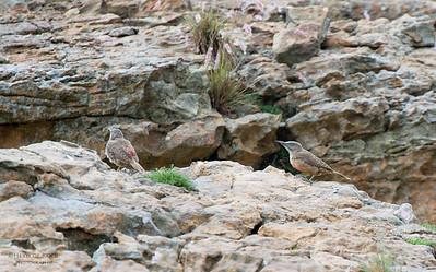 Ground Woodpeckers, Golden Gate NP, FS, SA, Jan 2014