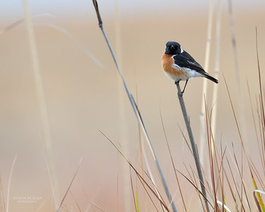 African Stonechat, Goldengate NP, FS, SA, Oct 2016-1