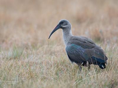 Hadeda Ibis, Goldengate NP, FS, SA, Oct 2016-1
