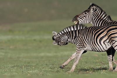 Plains Zebra, Goldengate NP, FS, SA, Oct 2016-5