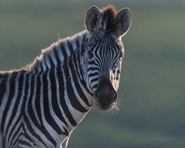 Plains Zebra, Goldengate NP, FS, SA, Oct 2016-4