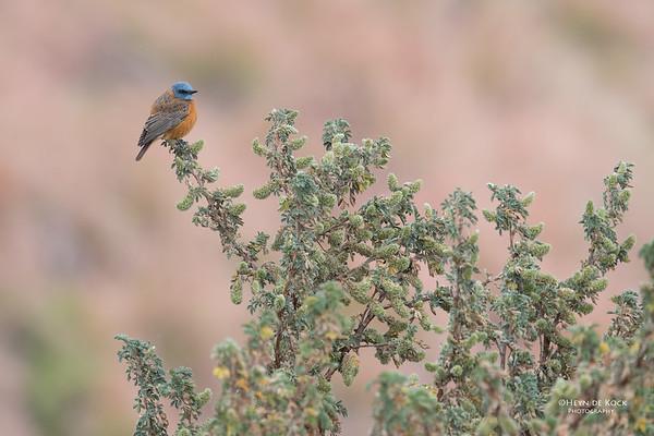 Cape Rock Thrush, Goldengate NP, FS, SA, Oct 2016-1