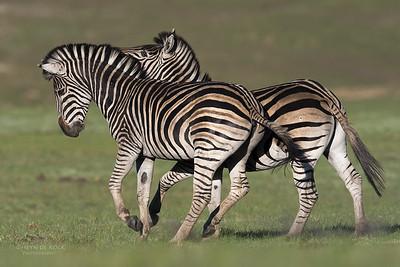 Plains Zebra, Goldengate NP, FS, SA, Oct 2016-1