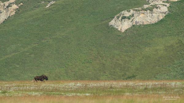 Black Wildebeest, Golden Gate NP, FS, SA, Jan-2014-1