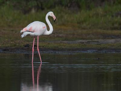 Greater Flamingo, Intaka Island, Cape Town, Sept 2016-1