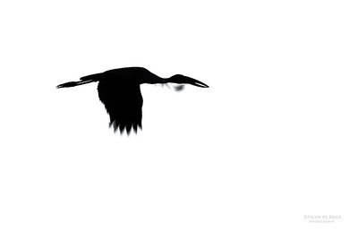 African Open-billed Stork, b&w, Khwai River Concession, Botswana, May 2017-1