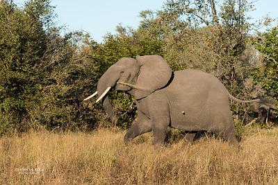 African Elephant, Khwai River Concession, Botwana, May 2017-1