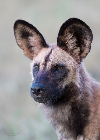 African Wild Dog, Khwai River Concession, Botwana, May 2017-2