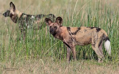 African Wild Dog, Khwai River Concession, Botwana, May 2017-18