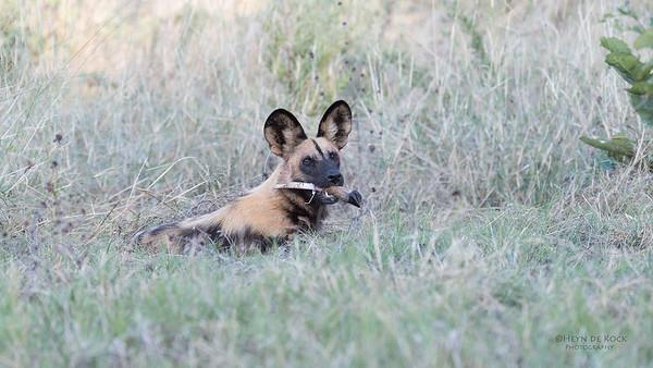African Wild Dog, Khwai River Concession, Botwana, May 2017-17