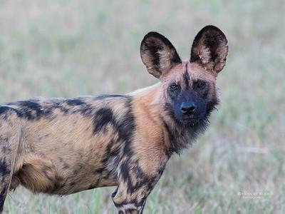 African Wild Dog, Khwai River Concession, Botwana, May 2017-14
