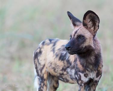 African Wild Dog, Khwai River Concession, Botwana, May 2017-13