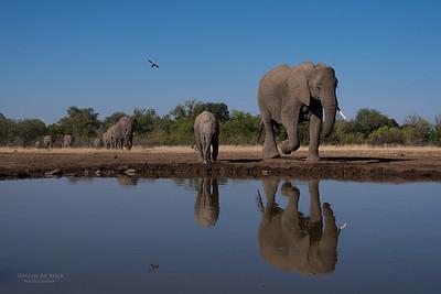African Elephant, Mashatu GR, Botswana, May 2017-17