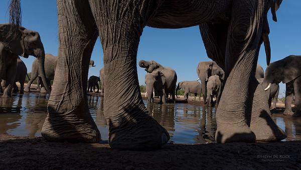 African Elephant, Mashatu GR, Botswana, May 2017-28