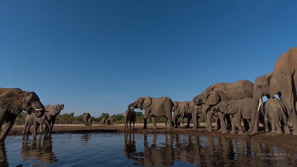 African Elephant, Mashatu GR, Botswana, May 2017-32