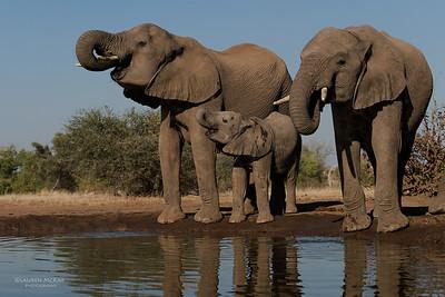 African Elephant, Mashatu GR, Botswana, May 2017-3