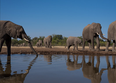 African Elephant, Mashatu GR, Botswana, May 2017-15