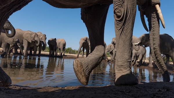 African Elephant, Mashatu GR, Botswana, May 2017-30