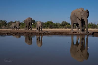 African Elephant, Mashatu GR, Botswana, May 2017-18