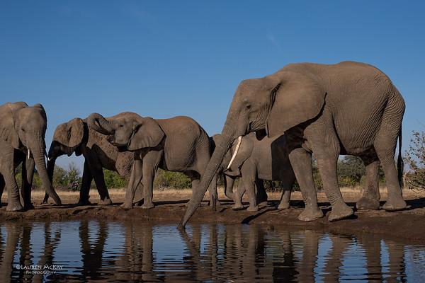 African Elephant, Mashatu GR, Botswana, May 2017-22