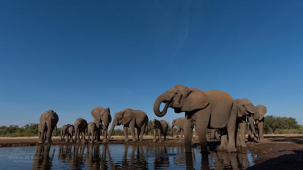 African Elephant, Mashatu GR, Botswana, May 2017-31