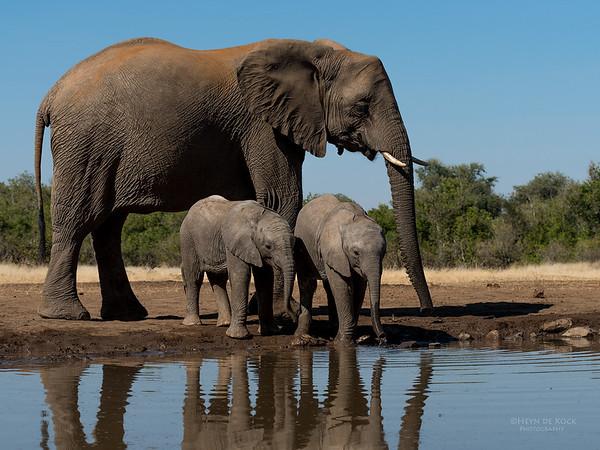 African Elephant, Mashatu GR, Botswana, May 2017-23