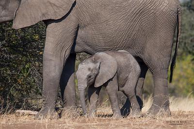 African Elephant, Mashatu GR, Botswana, May 2017-1a