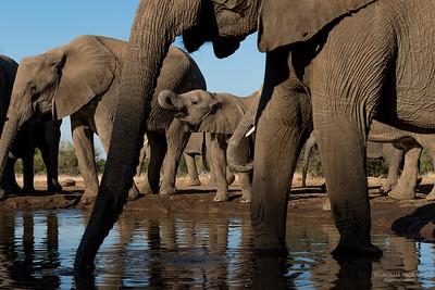 African Elephant, Mashatu GR, Botswana, May 2017-26
