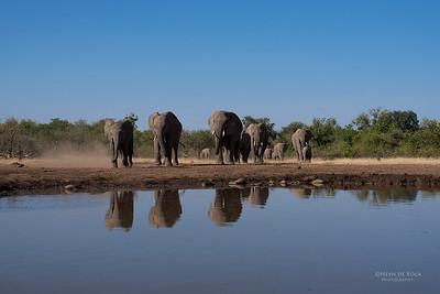 African Elephant, Mashatu GR, Botswana, May 2017-16