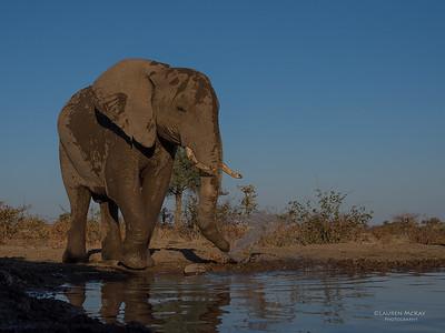 African Elephant, Mashatu GR, Botswana, May 2017-35