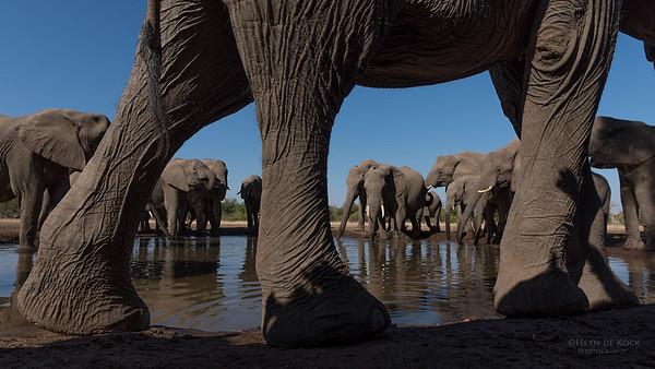 African Elephant, Mashatu GR, Botswana, May 2017-29